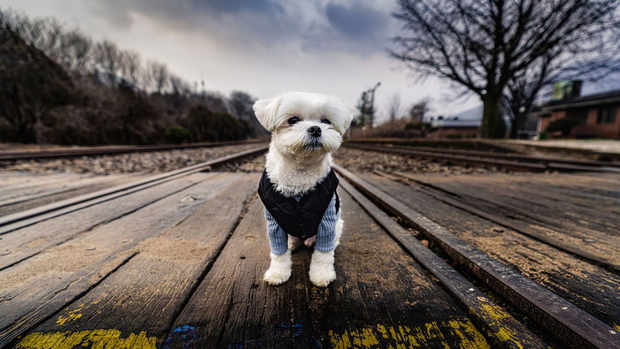 Portrait of dog on railroad track