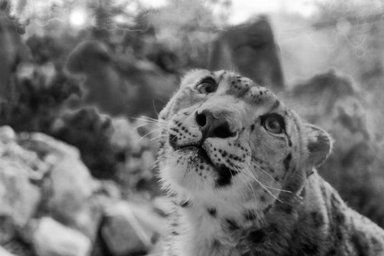 Close-up of a leopard