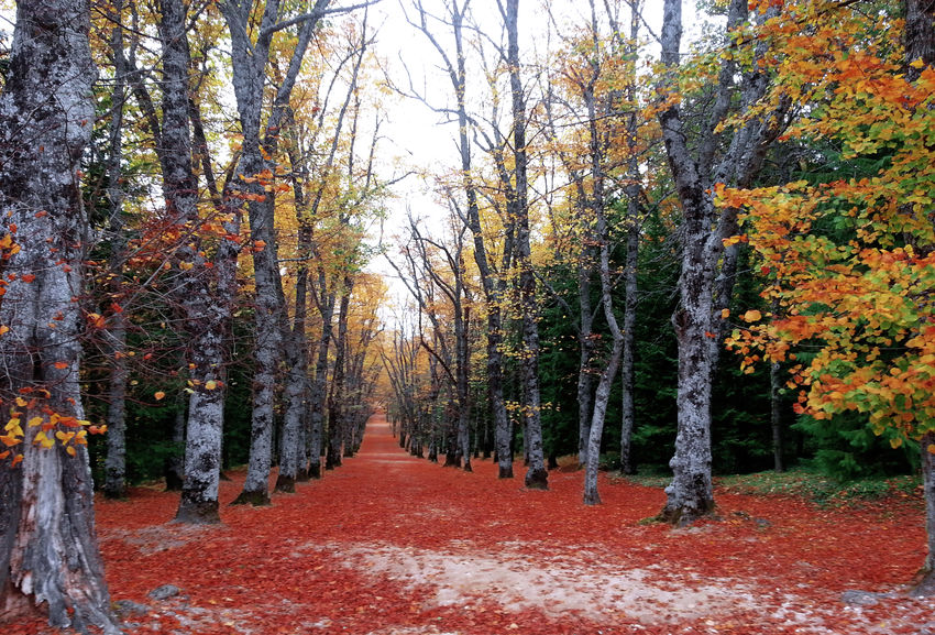Autumn Beauty In Nature Beech Beech Forest Nature No People Outdoors Red Scenics The Way Forward Tranquility Tree Tree EyeEmNewHere Otoño 🍁 Camino Soledad Haya