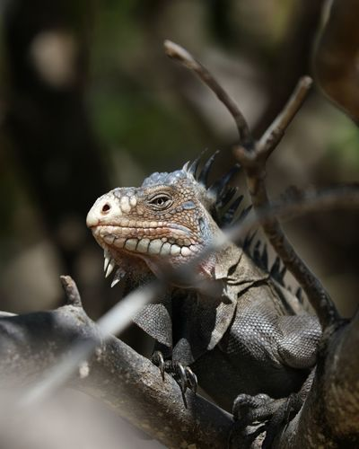 Iguana #iguana #gwada EyeEm Selects Reptile Confined Space Tree Close-up