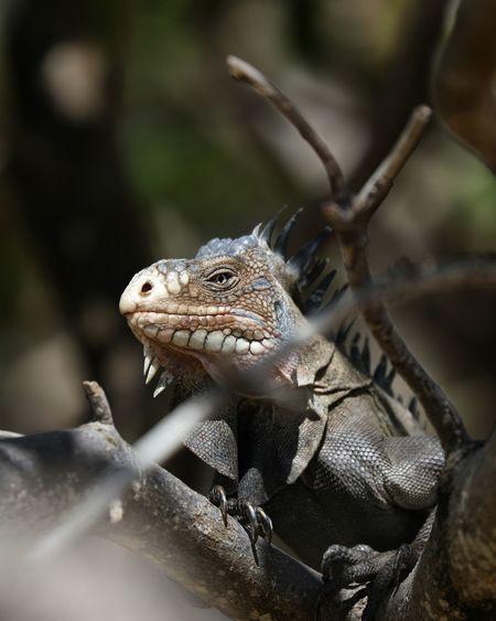 Iguana #iguana #gwada EyeEm Selects Reptile Confined Space Tree Close-up