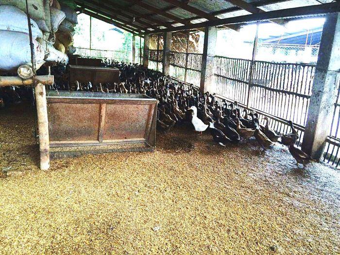 Ducks And Swans Duckscene Ducks Exploring Duckfeeding Everydaylife Poultry Farming Business Life Simple Moments