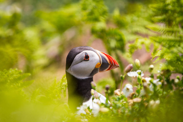 Puffins on Skomer Island of the coast of Pembrokeshire Wales UK 2019 Birds Pembrokeshire Puffin Puffins Skomer Island Uk Wildlife Animals In The Wild Animal Wildlife Animal Themes Bird Animal Vertebrate One Animal Plant Selective Focus Beak Green Color Close-up No People Day Nature Animal Body Part Focus On Foreground Beauty In Nature Animal Head  Outdoors Animal Neck SKOMER