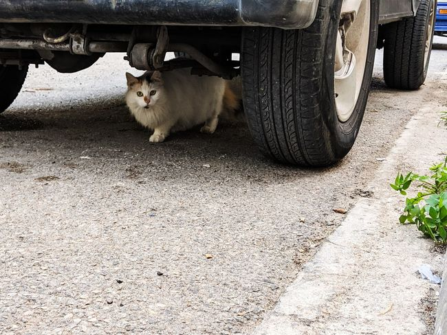 Pet Cat Domestic Cat Domestic Animals Under Car Looking At Camera Streetphotography Nature Day EyeEm Selects EyeEm Nature Lover EyeEm Gallery Outdoors Outdoor Photography Malta Car Outside Agriculture Animal Themes Semi-truck Vehicle Kitten Stray Animal Persian Cat  Whisker