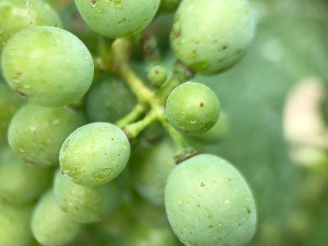 Grape Grapes 🍇 Grapes Nature Photography Grape Harvest Grapes🍇 Trauben Macro Macrophotography Macro Photography Fruit Summer Fruit Wine Grapes Wine Grape Zoom Zoom7x Close-up Close Up Zoom In