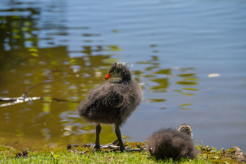 Wildlife & Nature Young Animal Coot Coots Animals Water Bird Birds Bird Springtime Spring Animals In The Wild Birds_collection Lake Blässhuhn Ralle Lake View Lakeside