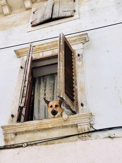 Portrait of dog peeking through window of building