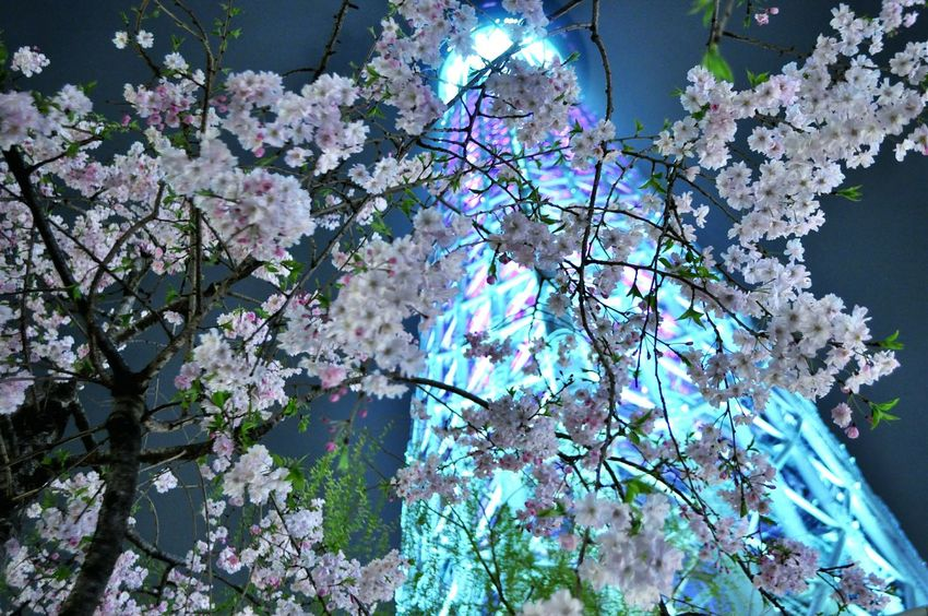 Night View Cherry Blossoms Tree_collection  Taking Photos Urban Nature Tokyo Night
