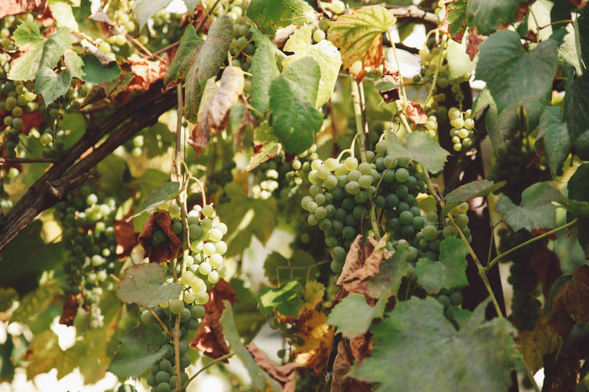 Autumn Beauty In Nature Branch Close-up Day Food Food And Drink Freshness Fruit Grapes Green Color Growth Healthy Eating Leaf Nature No People Outdoors Plant Tree Vine Vineyard