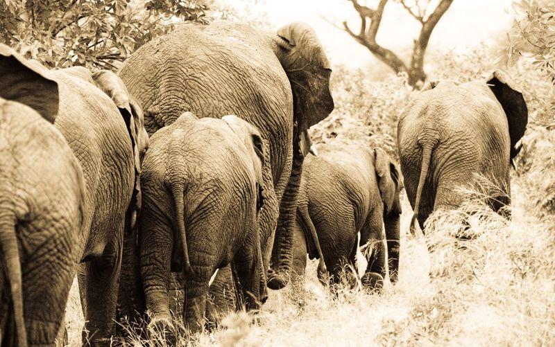 Rear View Of Elephants Walking On Field