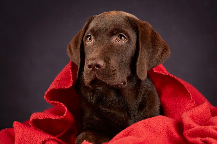 Labrador puppy with red blanket Animal Themes Dark Brown Dog Domestic Animals Labrador Chocolate Labrador Retriever Love No People One Animal Pets Puppy Qute Animals Red Blanket Retriever Studio Shot Pet Portraits