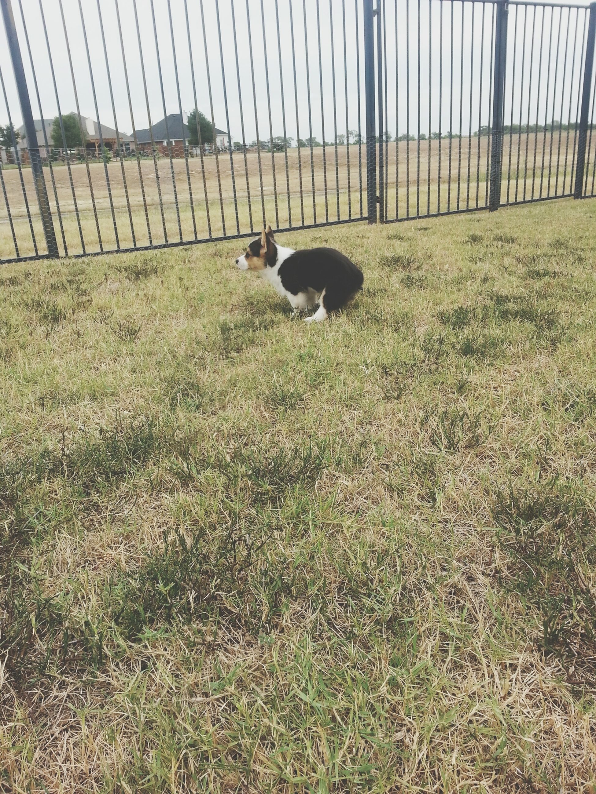 grass, animal themes, domestic animals, grassy, field, one animal, fence, mammal, pets, outdoors, day, nature, no people, green color, livestock, dog, full length, bird, wildlife, protection