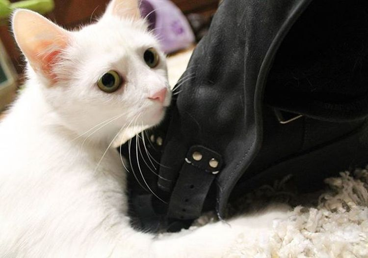 """Y esto es lo que se conoce como """"la gata con botas """"...... Excellent_cats Excellent_kitten Cats Cat Gato Catlover Catsofintagram Kittensofinstagram Kitty Kitten Meow Meowbox Meow_beauties Bestmeow Bestcats_oftheworld Topcatphoto Catstagram Cute Instacat_meows Catlover Whitecat Flaffy101cats Webstagram Tagsforlikes Photooftheday picoftheday all_shots like4like instagood worldcutestcats"""