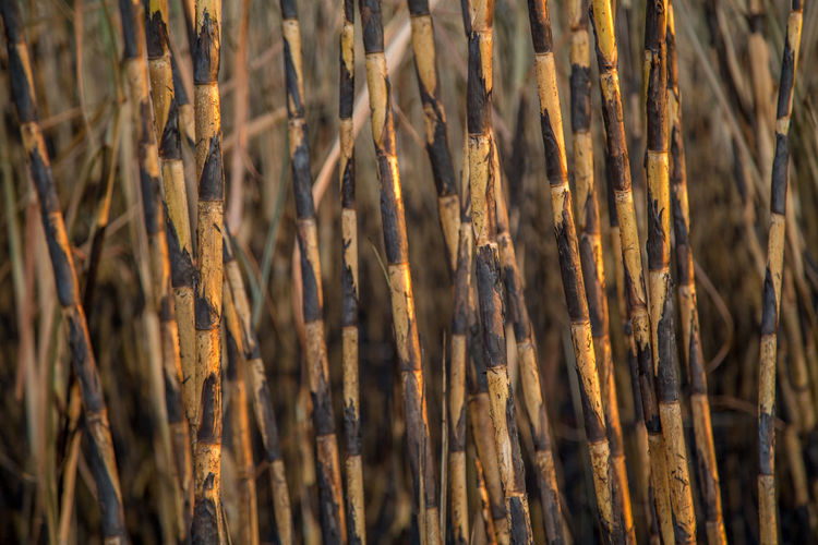 Burned Abundance Backgrounds Bamboo - Plant Brown Close-up Day Dry Field Focus On Foreground Forest Full Frame Growth Land Nature No People Outdoors Pattern Plant Selective Focus Sugar Cane Sunlight Tree