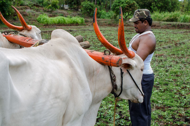Man with bull working on field against trees