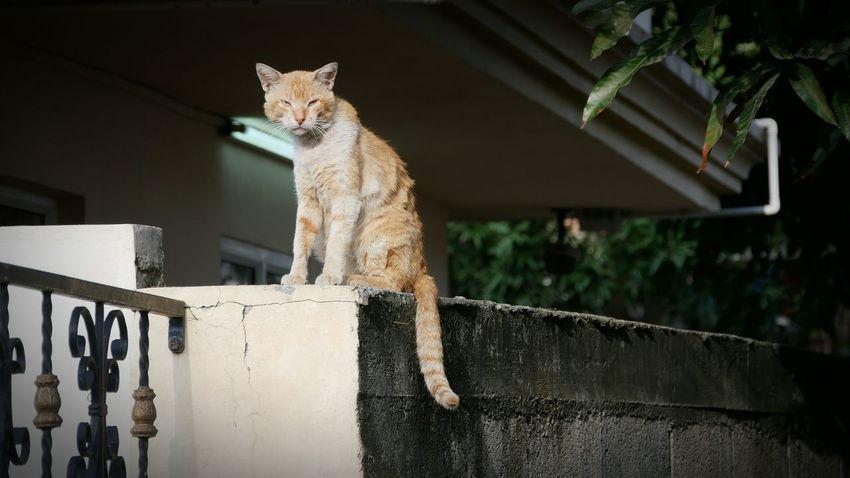 Cat Domestic Cat Stray Animal Ginger Cat