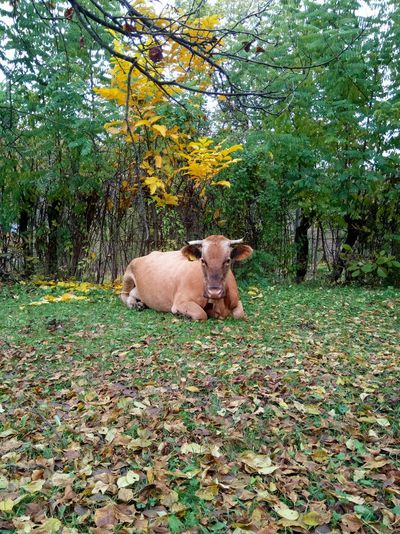Autumn Day Outdoors Nature No People Tranquil Scene Cow