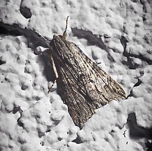 Little moth on the wall last night at work, trying to survive the wind and cold. Outdoors Nature Winter Close-up Beauty In Nature Insect Theme Moth Close Up Having Fun With Photography Night Creatures Night Photography IPhone Photography Cool_capture_ Insect Photography