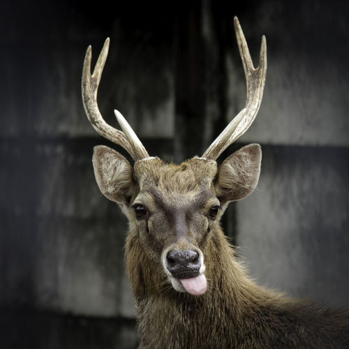 Rusa timor Moose Portrait Antler Confined Space Looking At Camera Taxidermy Stuffed Stag Deer Humor Maine Coon Cat Wrap Sandwich Unhealthy Lifestyle Spring Roll Stuffing - Food Prison Bars Dim Sum Unfashionable Ravioli Security Bar Prison Cell Horned Reindeer Bull - Animal Highland Cattle Animal Ear Male Animal Animal Hair Animal Nose Wind Instrument
