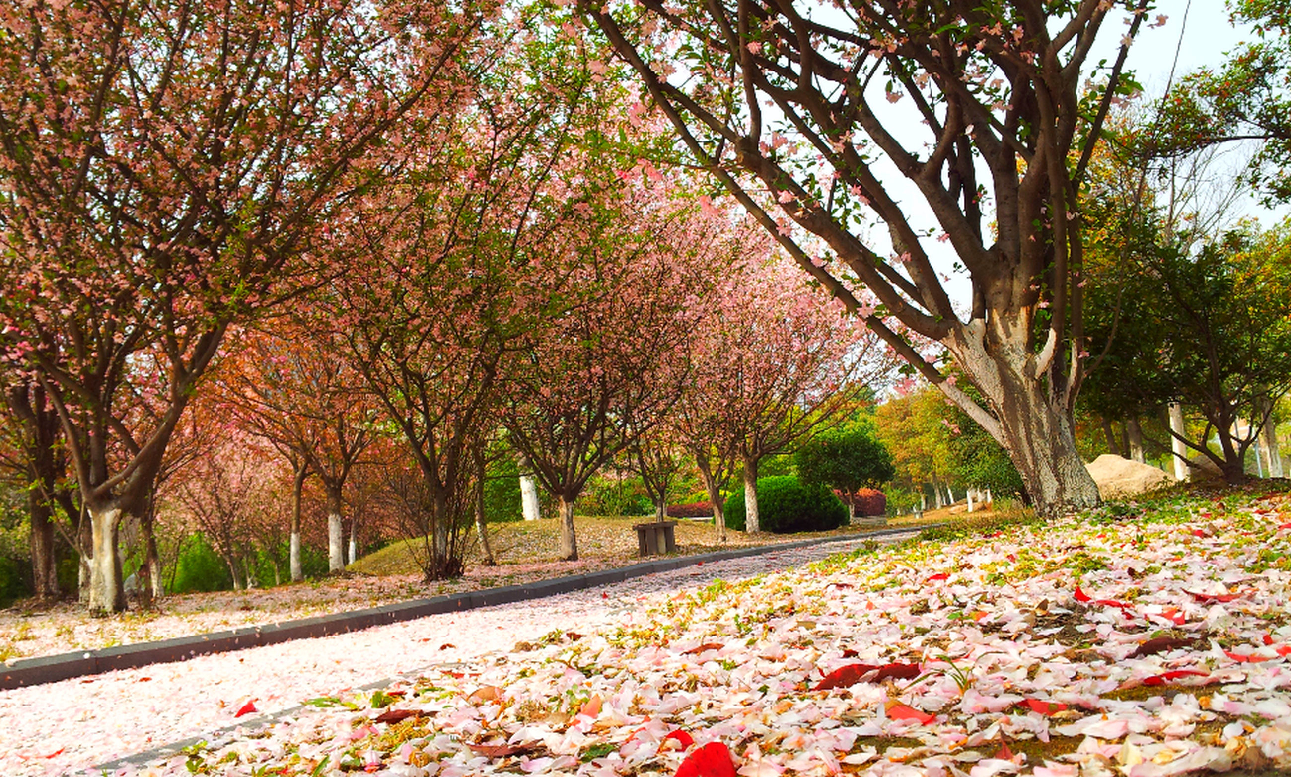 autumn, tree, change, season, leaf, growth, nature, tranquility, beauty in nature, fallen, park - man made space, branch, flower, day, tranquil scene, leaves, outdoors, red, scenics, footpath