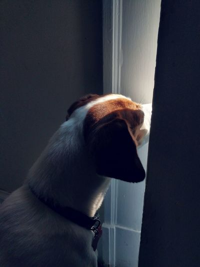 Anticipation Beagle Mixed-breed Dog Jackrussellterrier Jackabee Pet Behavior Waiting Looking Out Everyday Life Morning Natural Light Pets Close-up