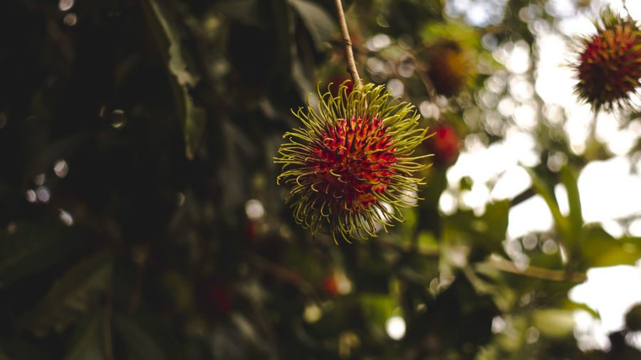 Closeup shot of Rambutan fruit on Tree with blur focus Flower Plant Flowering Plant Growth Freshness Beauty In Nature Close-up Vulnerability  Fragility Focus On Foreground Nature Flower Head Petal Inflorescence Day No People Red Outdoors Selective Focus Pollen Spiky Rambutan Malaysia Red Fruit Tree
