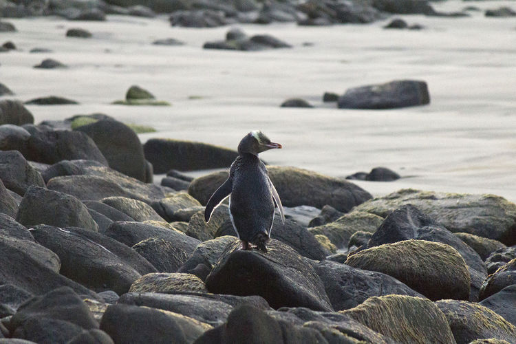 In The Wild Penguin Yellow Eyed Penguin Worlds Rarest Penguin Bird New Zealand Wildlife Wildlife In Nature On The Beach Curio Bay Beach Sand Animal Themes Day Animals In The Wild Nature Outdoors One Animal No People Close-up