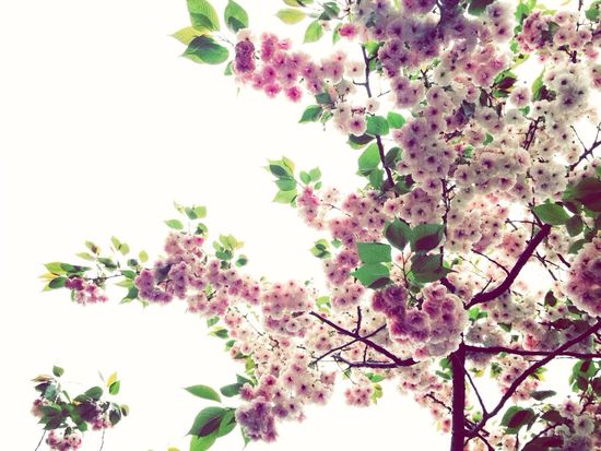 Greatlife/ Sakura