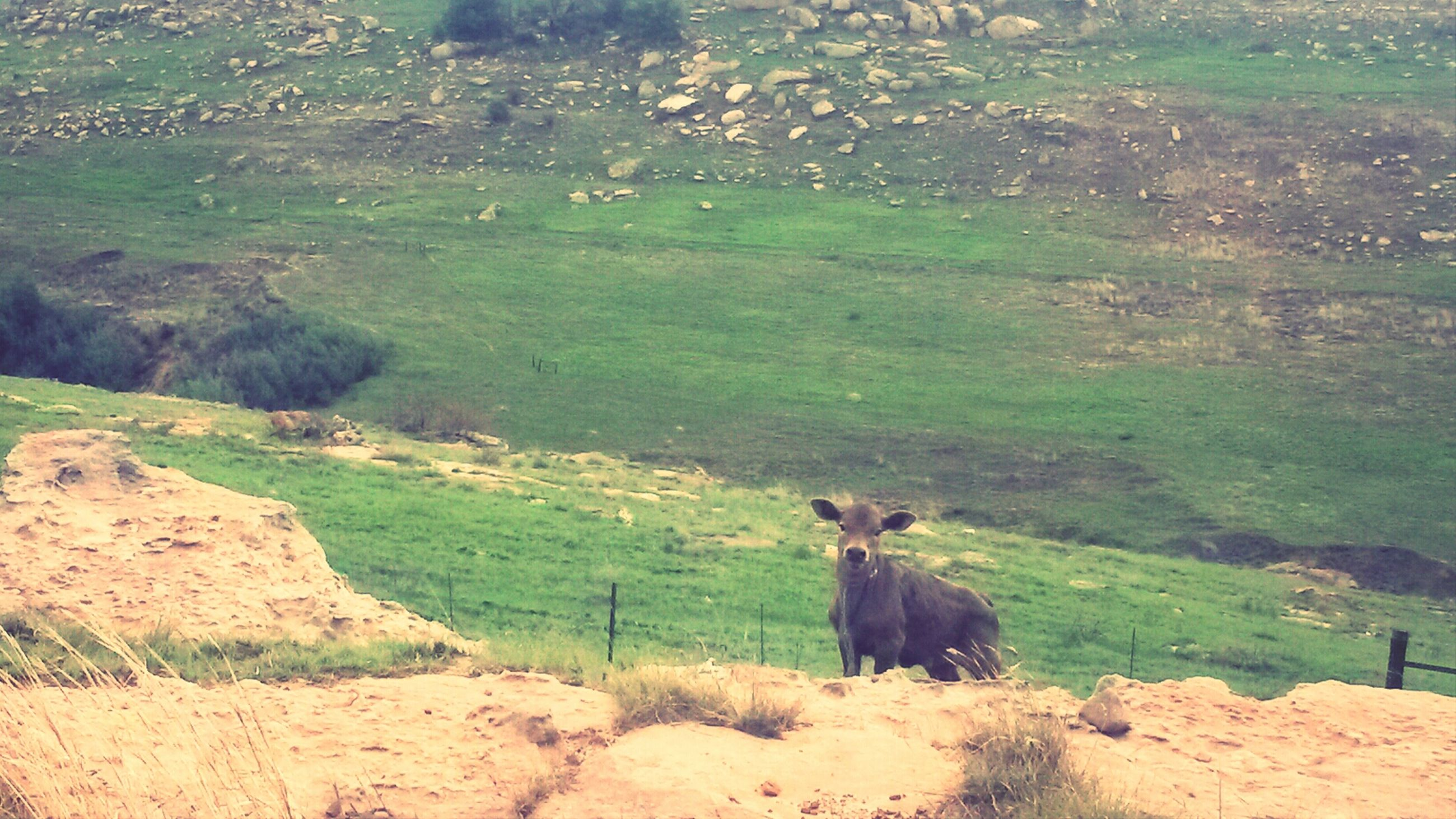 animal themes, landscape, mountain, mammal, nature, one animal, tranquil scene, tranquility, beauty in nature, rock - object, grass, domestic animals, scenics, non-urban scene, high angle view, day, field, plant, green color, animals in the wild