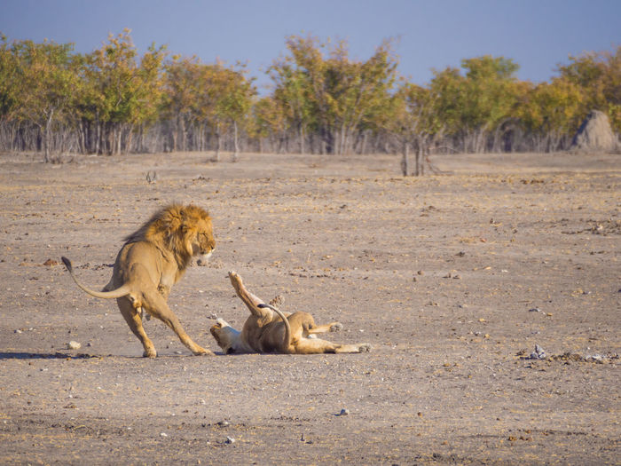 Male and female lion fighting in etosha national park, namibia, africa
