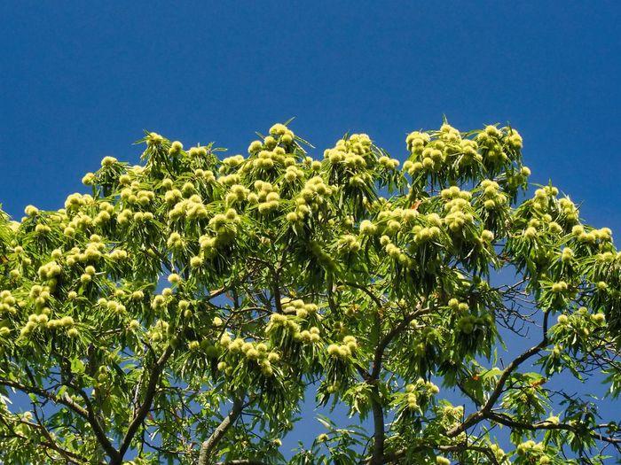 Kastanien Plant