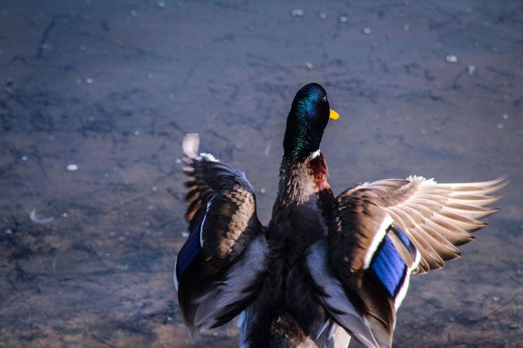 Close-up of malard duck preening