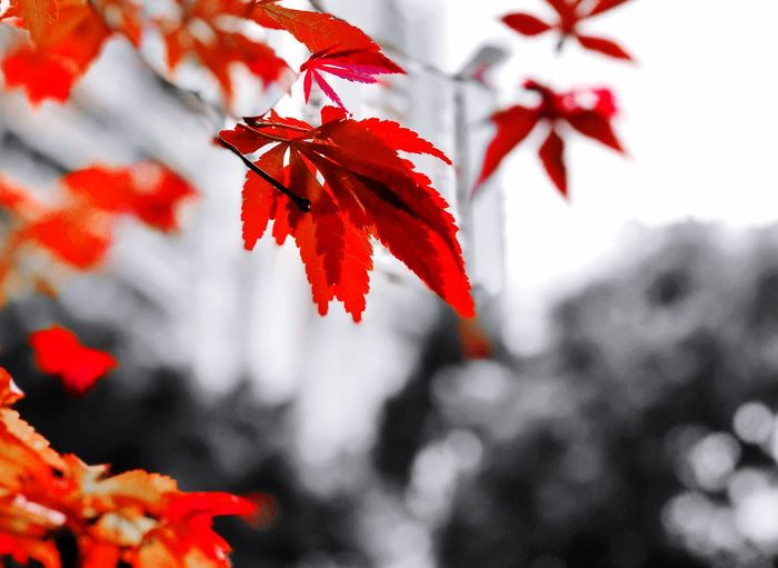 Red Red Leaf