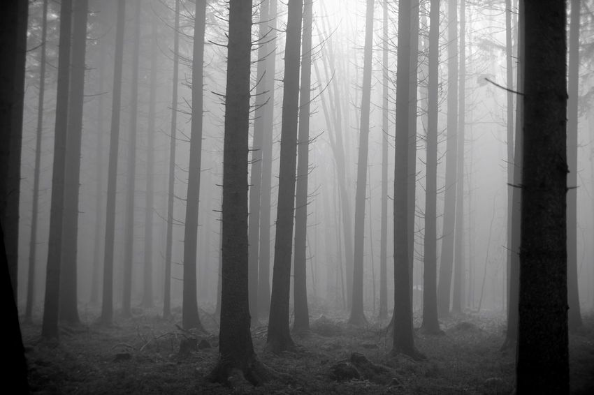 35mm B&w Forest Tree WoodLand Trunk Tree Trunk Land Fog Nature Environment