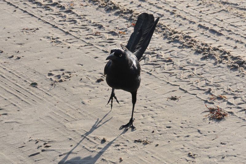 Grackle Mustang Island Port Aransas Texas Beach EyeEm Selects Sand Animal Themes Land Animal One Animal Beach Animal Wildlife Vertebrate Outdoors Black Color Full Length Shadow Animals In The Wild Bird High Angle View Nature No People Day Sunlight