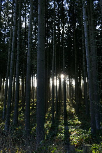 Setting sun peeking through fir tree trunks, Germany Forest Tree Plant WoodLand Tree Trunk Trunk Tranquility Beauty In Nature Tranquil Scene No People Nature Scenics - Nature Non-urban Scene Outdoors Sunlight Germany EyeEm Nature Lover Sun Star Sunlight Fir Trees