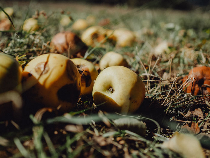 Autumn EyeEm Nature Lover EyeEmNewHere Apple - Fruit Apple Tree Apples Close-up Fall Season Fallen Fruits Field Food Food And Drink Freshness Fruit Harvest Grass Growth Harvesting Healthy Eating Land Nature No People Plant Selective Focus Vegetable