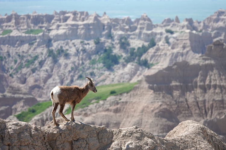 View of bighorn sheep on narrow ridge against badlands national park rock formations