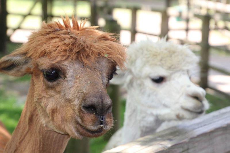 Animal Themes Domestic Animals Livestock Close-up llamas Focus On Foreground Outdoors daytime