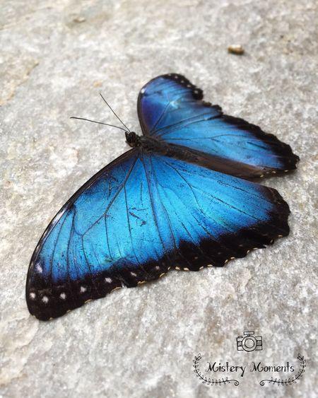 Morpho Peleides Morpho Peleides Butterfly World Butterflies Insect Nature Nature Photography Naturelovers Insect Photography Blue I LOVE BLUE ♡