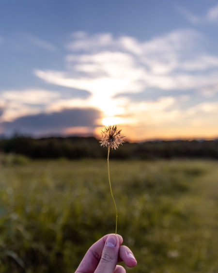 Cropped hand of person holding dandelion against sky during sunset