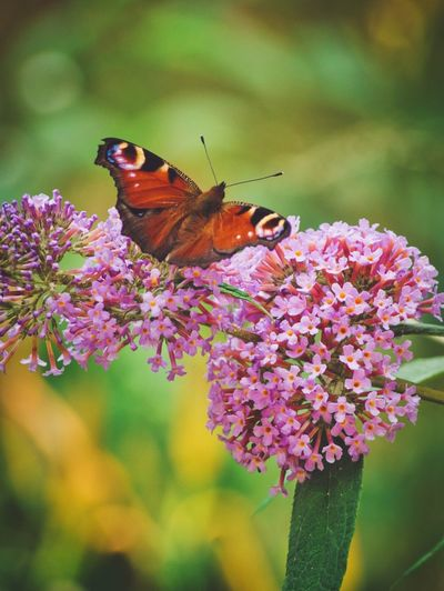 Butterflies are back Butterfly Flowering Plant Flower Insect Animal Themes Beauty In Nature Invertebrate Plant Animal Wildlife Animal Animals In The Wild Vulnerability  Freshness One Animal Close-up Nature