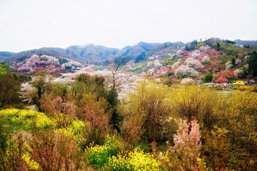 Capture The Moment Uzukiの桜 Fantasy Springtime Mountains Multi Colored Landscapes Depth Of Field Sakura Japanese  Cherry Blossoms Flowers Fine Art Rural Scene Fantastic Beauty In Nature Uzuki Of The Flower Nature Pastel Power Fragility Full Frame Detail Sigma EyeEm Best Shots 17_04 Art Is Everywhere Art Is Everywhere TCPM EyeEmNewHere EyeEmNewHere