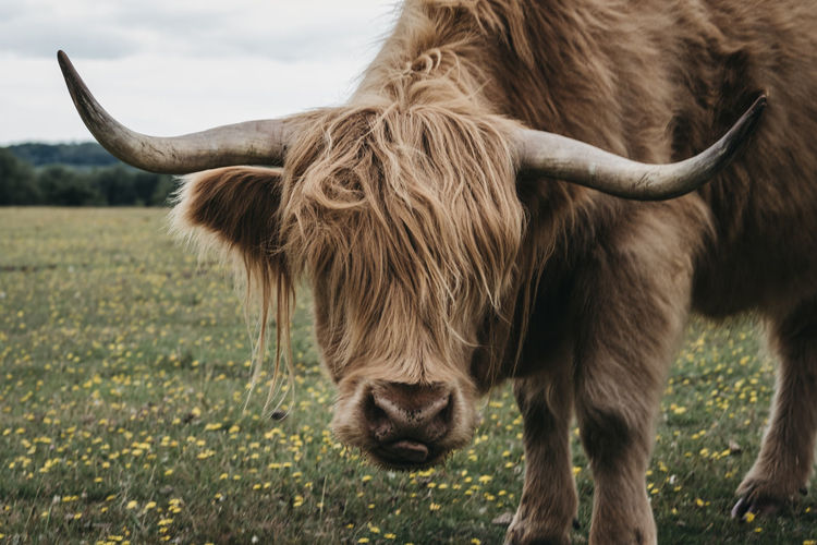 Close up of the highland cattle in the new forest park in dorset,uk, looking at the camera.