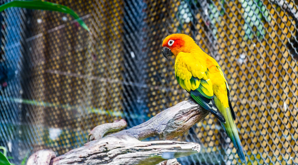 A colorful cute parrot, yellow, orange and red Parrot on a branch in a cage at public park, Jandaya Parakeet. Animal Themes Animal Wildlife Animals In The Wild Backgrounds Beauty In Nature Bird Birds Close-up Colorful Cute Day Focus On Foreground Love Nature No People One Animal Orange Color Outdoors Parrot Perching The Great Outdoors - 2017 EyeEm Awards Wild Wild Animal Wildlife Yellow