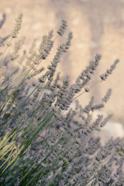 Beauty In Nature Close-up Cold Temperature Day Field Flower Flowering Plant Focus On Foreground Growth Land Lavender Lavenderflower Nature No People Outdoors Plant Selective Focus Tranquil Scene Tranquility