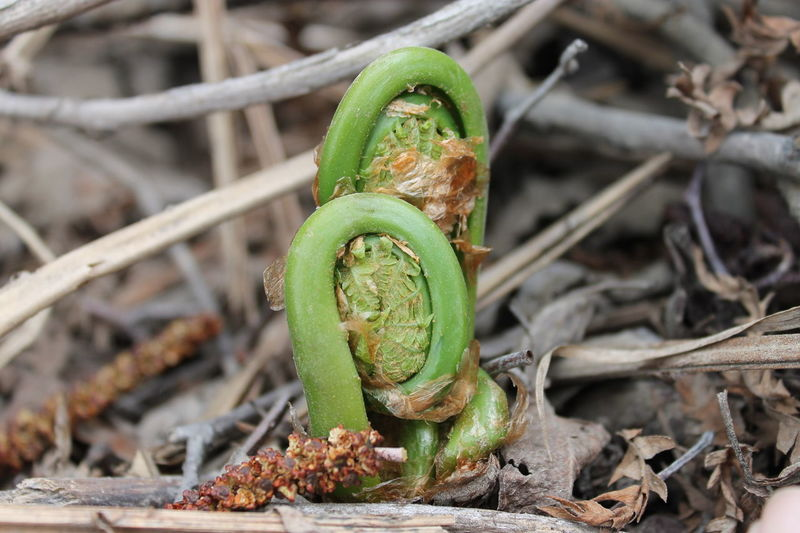 fiddleheads ...it is very good .... Animal Themes Animal Wildlife Animals In The Wild Beauty In Nature Close-up Day Fiddleheads Focus On Foreground Green Color Insect Leaf Nature No People One Animal Outdoors Plant Reptile Saguenay, Québec, Canada Slug The Great Outdoors - 2017 EyeEm Awards The Week On EyeEm