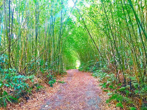 竹林 竹子 葉子 馬路 枯葉 山上 無人 綠色 Tree