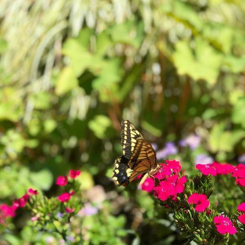 お腹すいたー アゲハ蝶 Flower Insect Invertebrate Animal Wing Flowering Plant Animal Themes Animal Wildlife