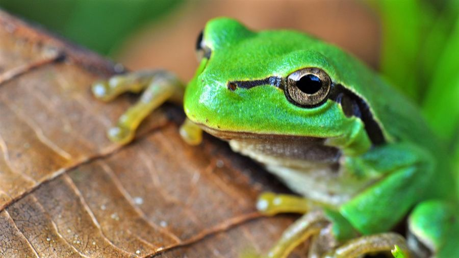 Gras frog Animal Themes Animal Wildlife Animals In The Wild Close-up Day Garden Gras Frog Green Color Leaf Nature No People One Animal Outdoors